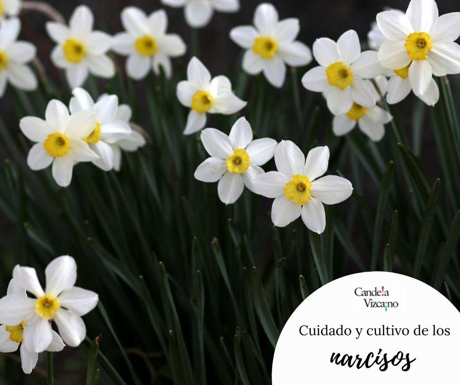 Narciso cuidado y cultivo de la flor planta y bulbo Candela Vizcano